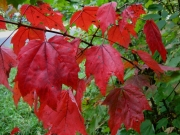 Acer early red maple color