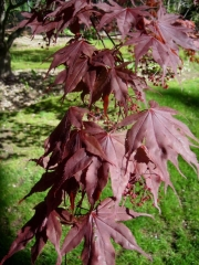 Acer red maple Acer palmatum