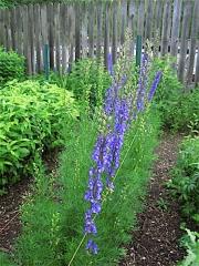 """Aconitum napellus, """"Newry Blue"""""""