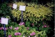 Adiantum & Primula sieboldii maidenhair fern