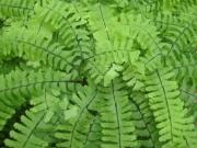 Adiantum pedatum maidenhair fern