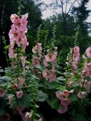 Alcea rosea hollyhocks
