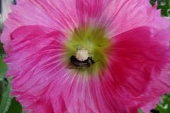 Alcea hollyhock Alcea rosea