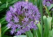 Allium giganteum closeup