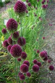 Allium sphaerocephalum drumstick allium