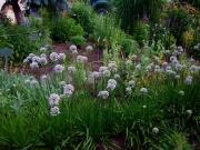 Allium tuberosum broad-leaved chives