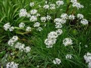 Allium tuberosum garlic chives
