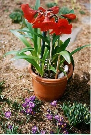 Amaryllis in early Spring