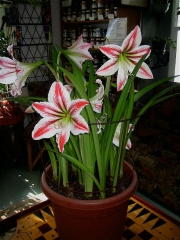 Amaryllis 'Candy Stripe'