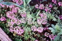 Androsace sarmentosa pink Androsace
