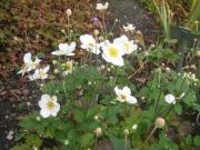 Anemone japonica, 'Honorine Jobert' Japanese anemone, white