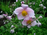 Anemone japonica, 'Robustissima' Japanese anemone, pink