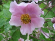Anemone japonica, 'Robustissima' Japanese anemone, pink with bee, closeup