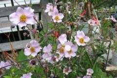 Anemone japonica, 'Robustissima' Japanese anemone, pink