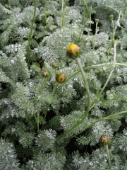 Anthemis tomentosa wooly marguerite in bud