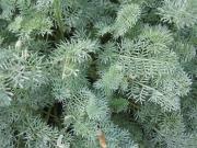 Anthemis tomentosa wooly marguerite, foliage closeup