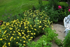Anthemis tinctoria 'Kelawayi' golden marguerite