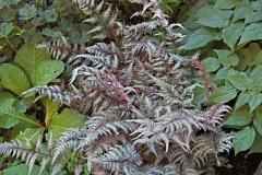 Anthyrium niponicum 'Pictum' Japanese painted fern