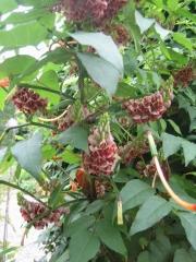 Apios americana Apios in blooming clusters