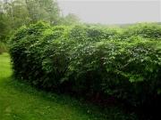 Apios americana cedar hedge w/apios (groundnut)