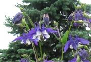 Aquilegia vulgaris short-spurred columbine, bicolor