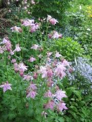 Aquilegia vulgaris short-spurred columbine, pink