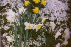 Arabis albida Arabis & daffodils