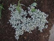 Artemesia stellariana, young growth