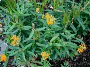 Asclepias tuberosa orange butterfly milkweed, flowers & seedpods