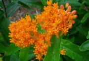 Asclepias tuberosa orange butterfly milkweed, closeup