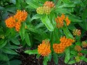 Asclepias tuberosa orange butterfly milkweed