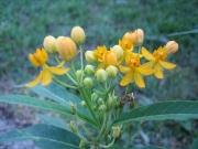 Asclepias tuberosa yellow butterfly milkweed