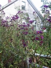 Aster novi-angliae New England aster, grape purple