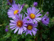 Aster novi-angliae New England aster, purple