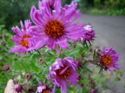 Aster novi-angliae New England aster, pink
