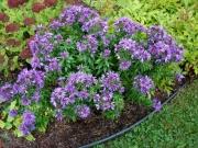 Aster novi-belgii dwarf purple aster