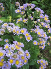Aster, unknown variety perennial in Virginia