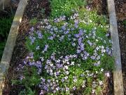 Aubretia x hybrida 'Cascade Blue'
