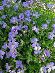 Aubretia x hybrida 'Cascade Blue' closeup