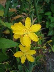 Belamcanda chinensis yellow blackberry lily, marginally hardy Zone 3