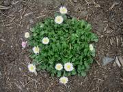 Bellis perennis English daisy, non-hybrid