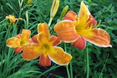 Hemerocallis 'Bright Spangles'