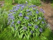 Centaurea montana, perennial bachelor's button
