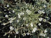 Cerastium alpinum dwarf snow in summer, closeup