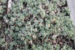 Cerastium alpinum dwarf snow in summer