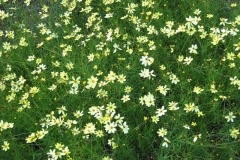 Coreopsis verticillata 'Moonbeam' threadleaf coreopsis, pale yellow