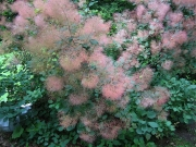 Cotinus coggygria green-leaved smoke bush
