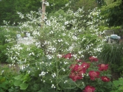 Crambe cordifolia sea kale and peonies