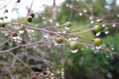 Crambe cordifolia seed pods and rain