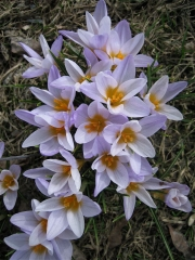 Crocus vernus palest lavender